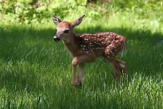 Bambi#1