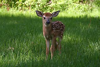 Bambi#2